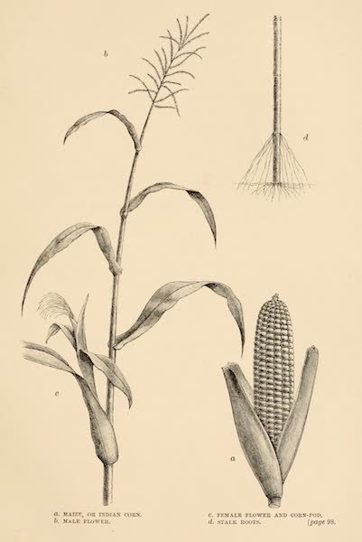 Mexico To-Day - Maize or Indian Corn (1883)