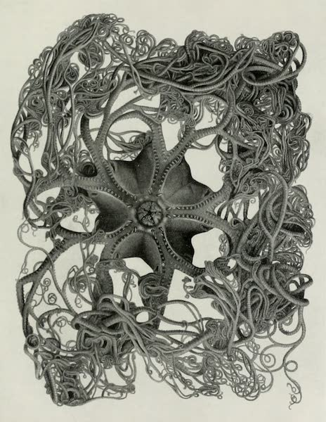 Monaco and Monte Carlo - The Gorgonocephalus agassizi (1912)