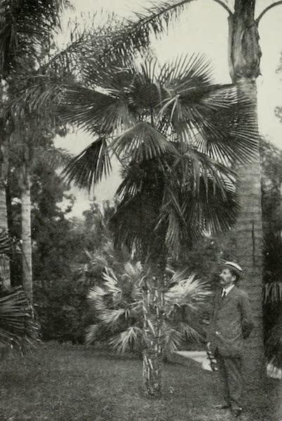 Monaco and Monte Carlo - The Chamaerops martiana from the Himalayah (1912)