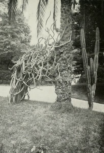 Monaco and Monte Carlo - The Mexican Serpent Cactus Attacking an African Date-palm (1912)