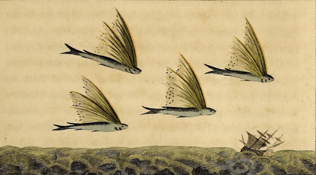 The Harangus Volans, or Flying Fish