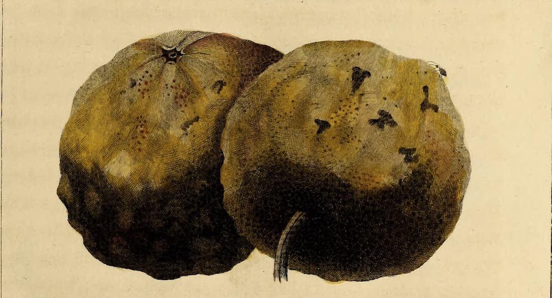 The Shaddock Apple