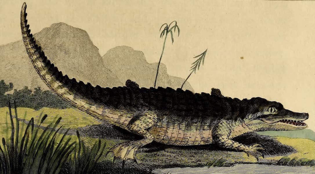 The Alligator or Cayman of Surinam