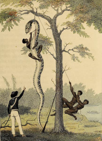 The skinning of the Aboma Snake, shot by Capt. Stedman