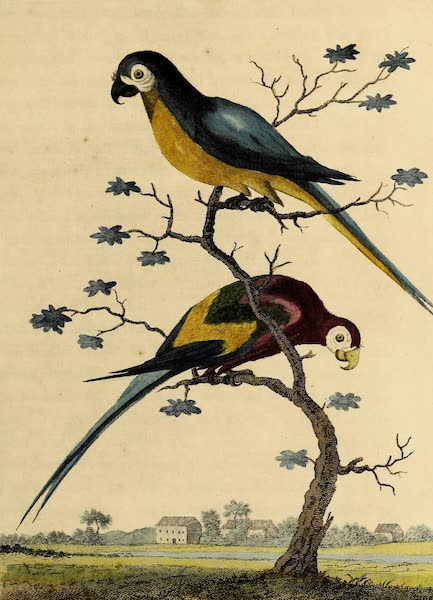 The Blue & Yellow & the Anazon Macaw