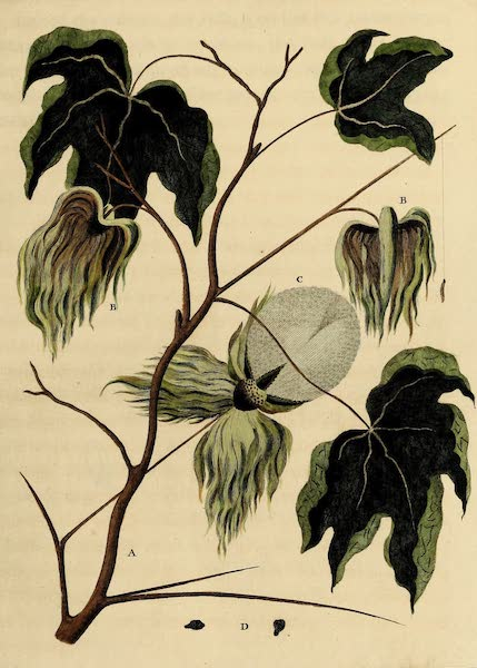 Sprig of the Cotton Tree