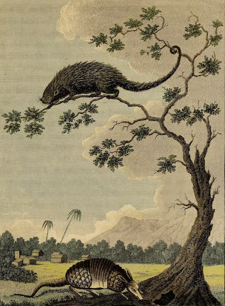 The Armadillo & Porcupine of Guiana
