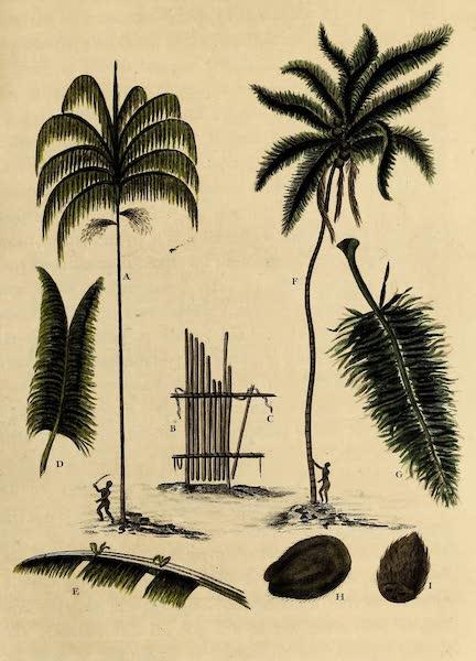 The Manicole & the Cocoa-Nut Tree