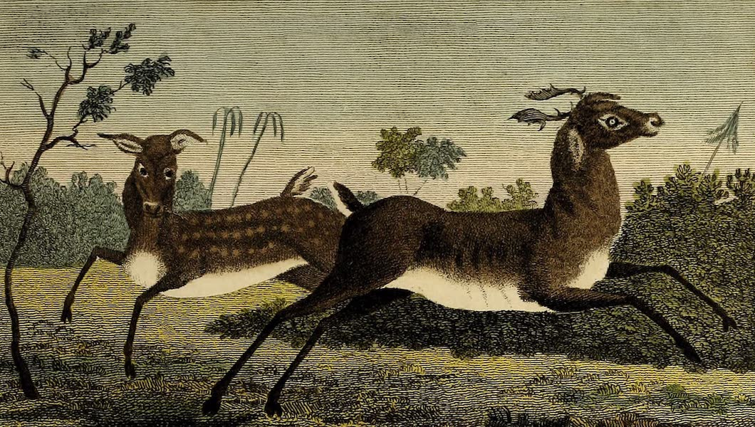 The Bajew, or Stag of Guiana