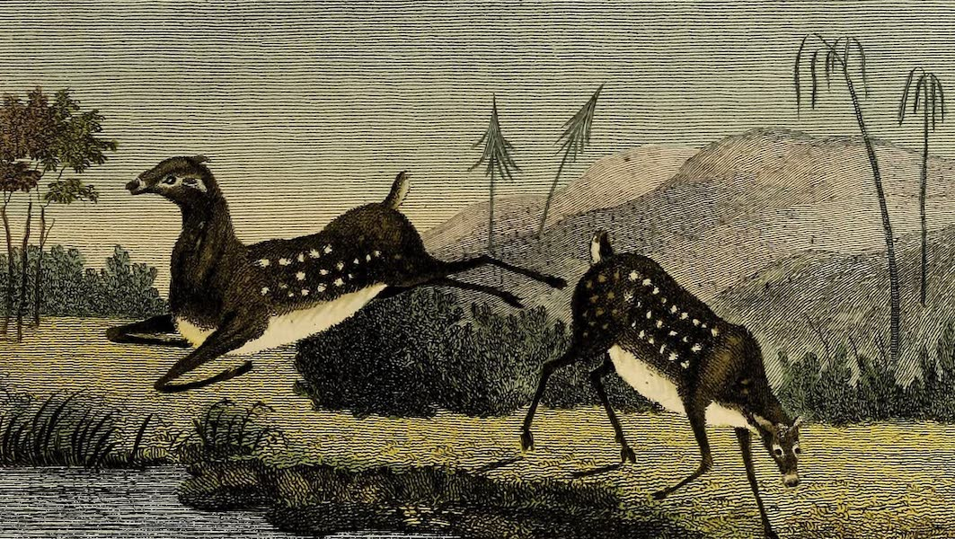 The Wirrebocerra, or Small Deer