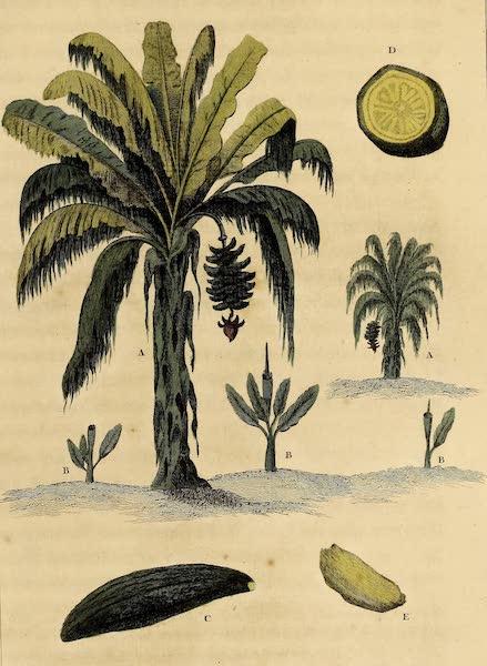 The Plantation Tree, and the Banana