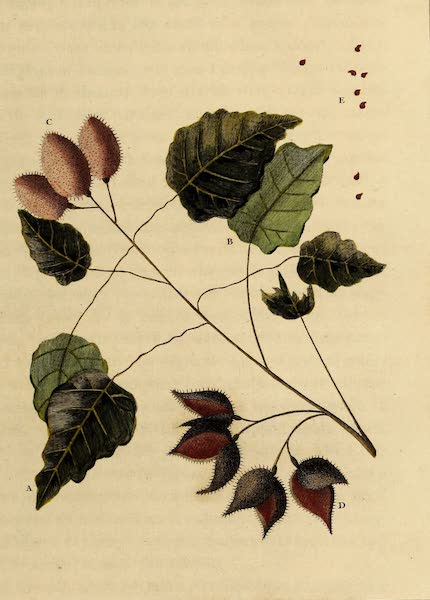 Narrative, of a Five Years Expedition Vol. 2 - Sprig of the Arnotta, or Roucon Tree (1796)