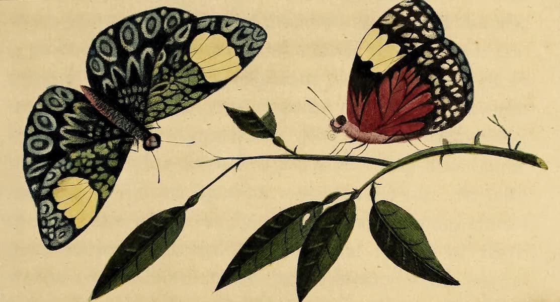 Narrative, of a Five Years Expedition Vol. 2 - The Blue & Crimson Butterfly of South America (1796)