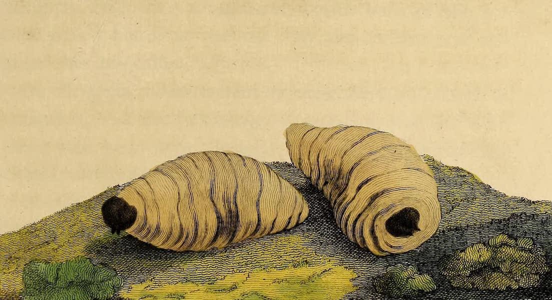 The Groo-groo, or Palm Tree Worms