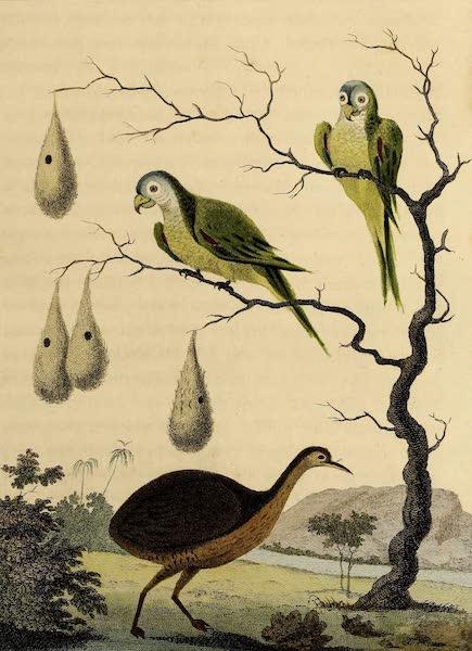 The Anamoe & Green Parrots of Guiana