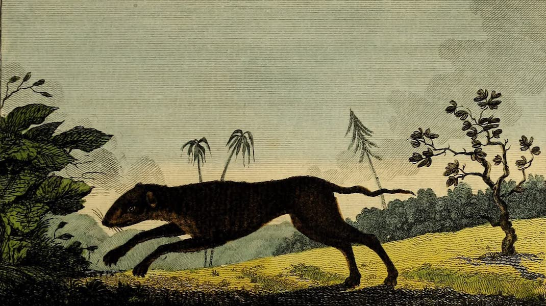 The Wood-Rat of Surinam