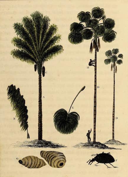 The Mountain Cabbage & Maureecee Tree