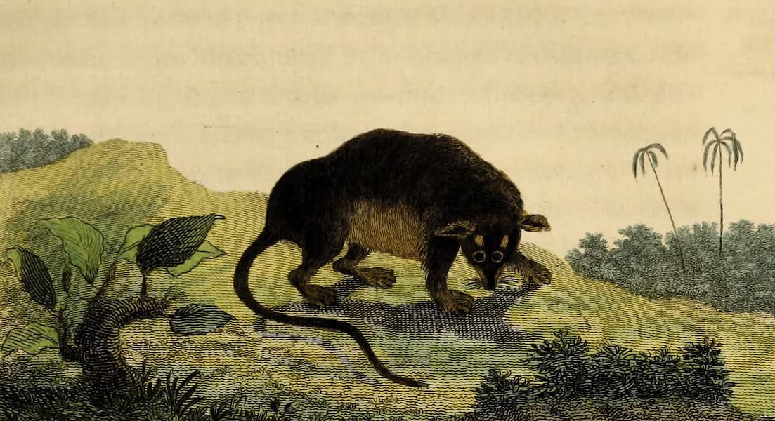 Narrative, of a Five Years Expedition Vol. 2 - The Marine Oppossum of Terra-Firma (1796)
