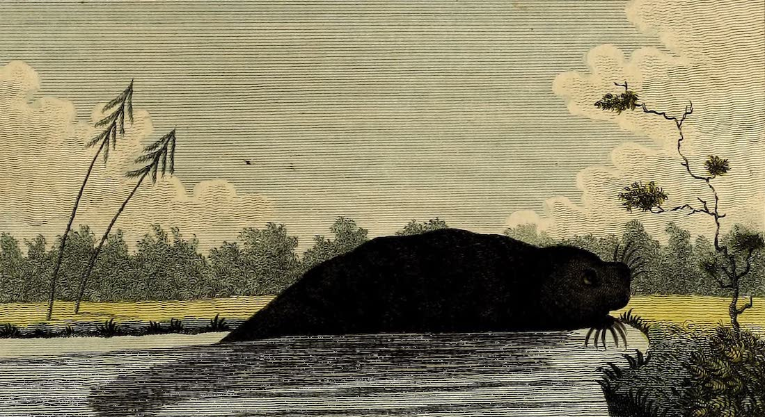 The Manati, or Sea Cow of Guiana