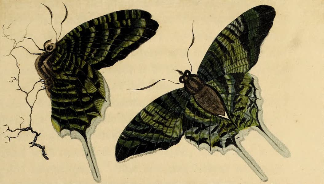 The Green Butterfly of South America