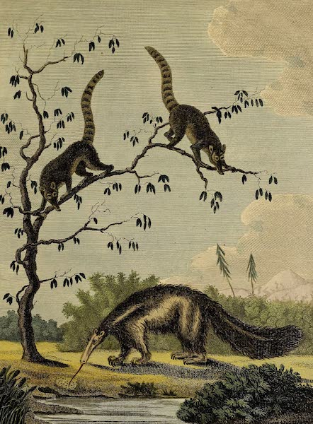 The Tamandua, & Coati-Mondi