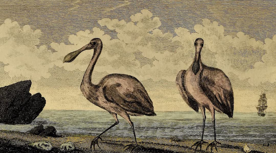 Narrative, of a Five Years Expedition Vol. 2 - The Spoon Bill or Shoveler (1796)