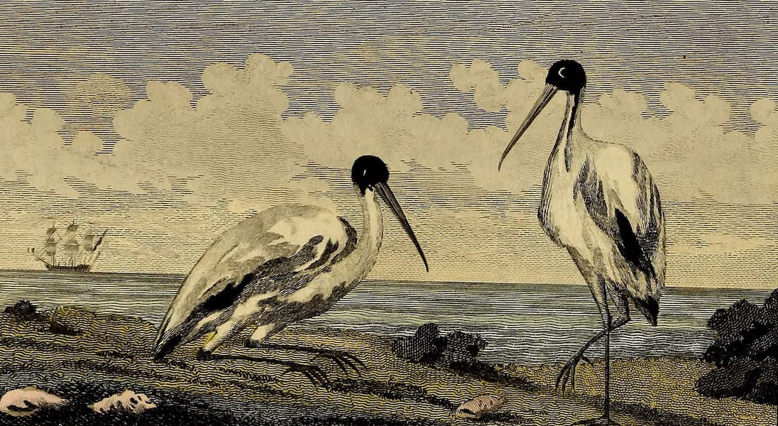 The Jabiru, or Crane of Guiana