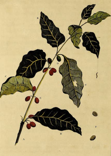 Sprig of the Coffee Tree