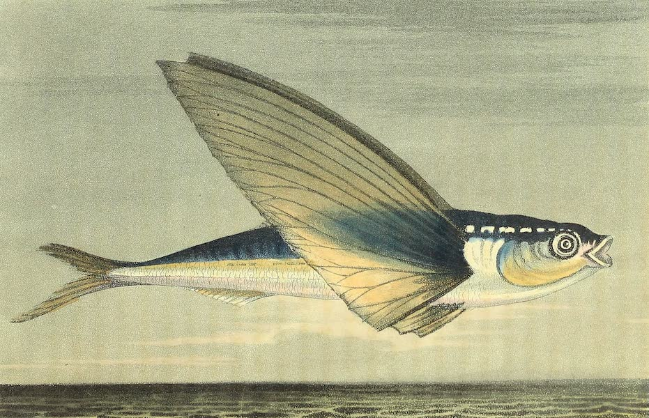 Narrative of a Journey in the Interior of China - Exocoetus splendens (1818)