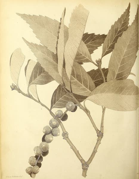 Narrative of a Journey in the Interior of China - [Untitled Flower] (1818)