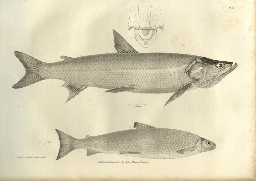 Narrative of a Journey to the Shores of the Polar Sea - Natural History Drawings of Fish I (1823)