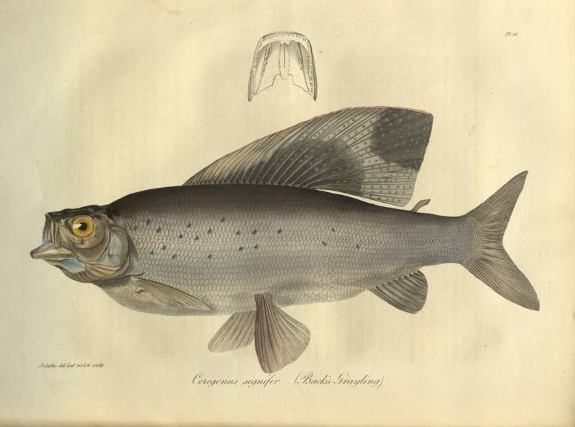 Narrative of a Journey to the Shores of the Polar Sea - Natural History Drawings of Fish II (1823)