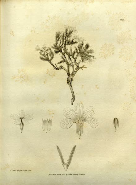 Narrative of a Journey to the Shores of the Polar Sea - Natural History Drawings of Plants II (1823)