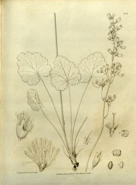 Narrative of a Journey to the Shores of the Polar Sea - Natural History Drawings of Plants III (1823)