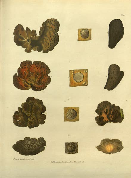 Narrative of a Journey to the Shores of the Polar Sea - Natural History Drawings of Coral (1823)