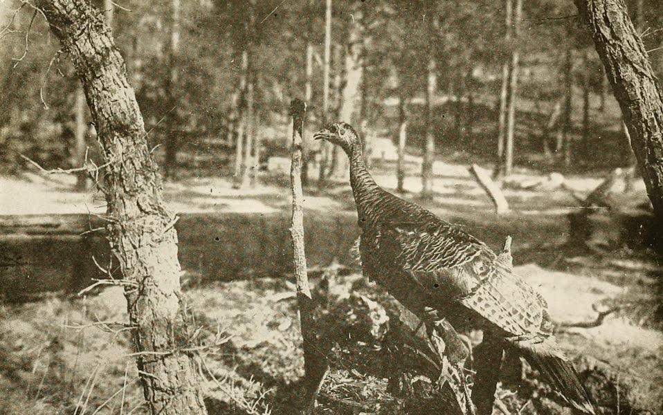 New Mexico, The Land of the Delight Makers - A New Mexico Wild Turkey (1920)