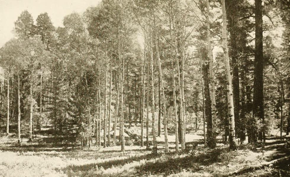 New Mexico, The Land of the Delight Makers - Quaken Aspen Grove, Cloudcroft (1920)