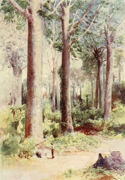 New Zealand, Painted and Described - Among the Kauri (1908)