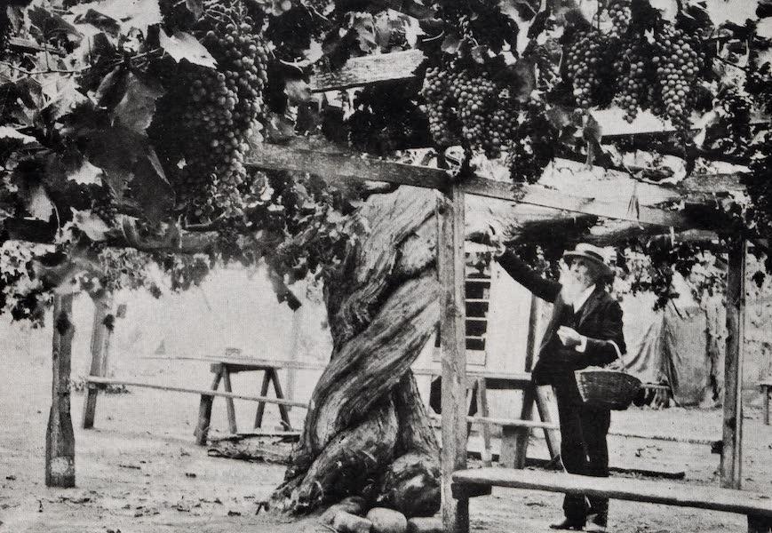On Sunset Highways - Giant Grapevine near Carpinteria (1915)