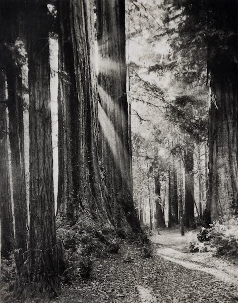 On Sunset Highways - Big Trees, Santa Cruz (1915)