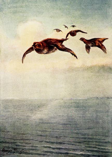 Partridges and Partridge Manors - 'A Fatal Mistake' - A Covey flying out to Sea (1911)