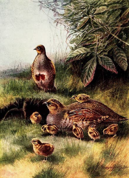 Partridges and Partridge Manors - Partridge and Young (1911)