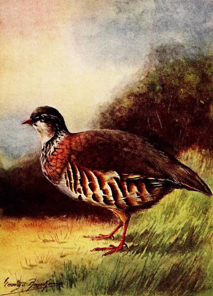Partridges and Partridge Manors - French Partridge (1911)