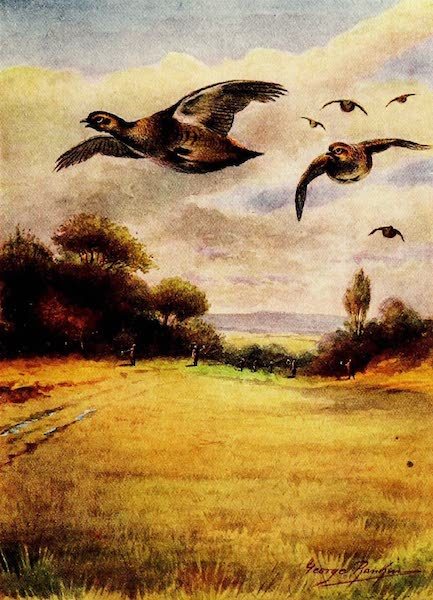 Partridges on Wing