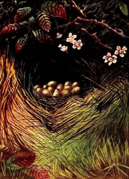 A Time-honoured Custom - Partridge and Pheasant using same Nest