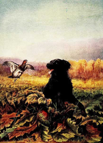 Partridges and Partridge Manors - Retriever on Wounded Bird (1911)