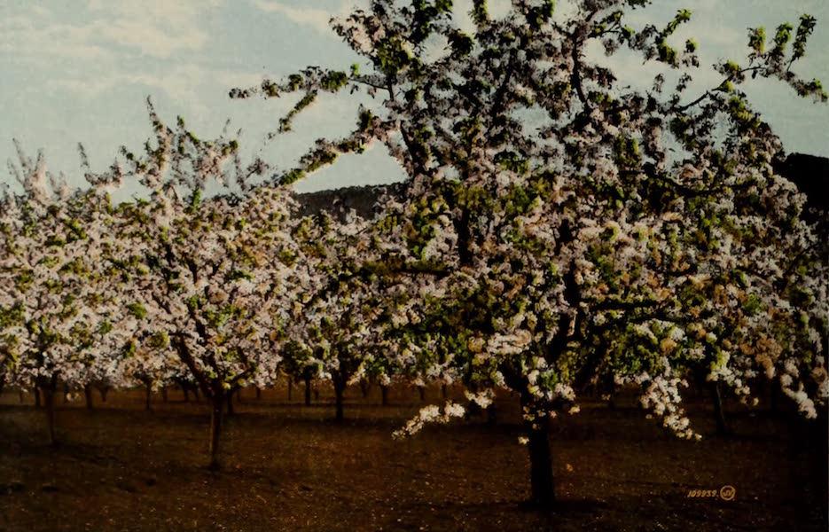 Picturesque Okanagan - Apple Tree in Blossom, Okanagan Valley (1910)