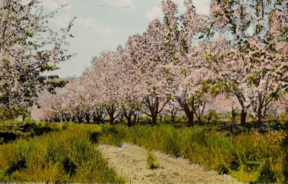 Picturesque Okanagan - Apple Orchard in Blossom, Okanagan Valley (1910)