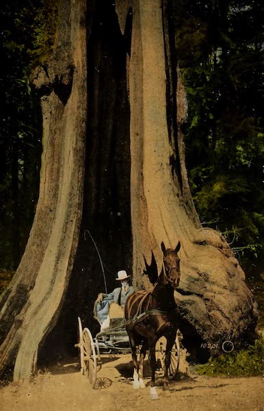 Picturesque Vancouver B.C. - The Big Cedar Tree (65 feet in circumference), Stanley Park (1910)