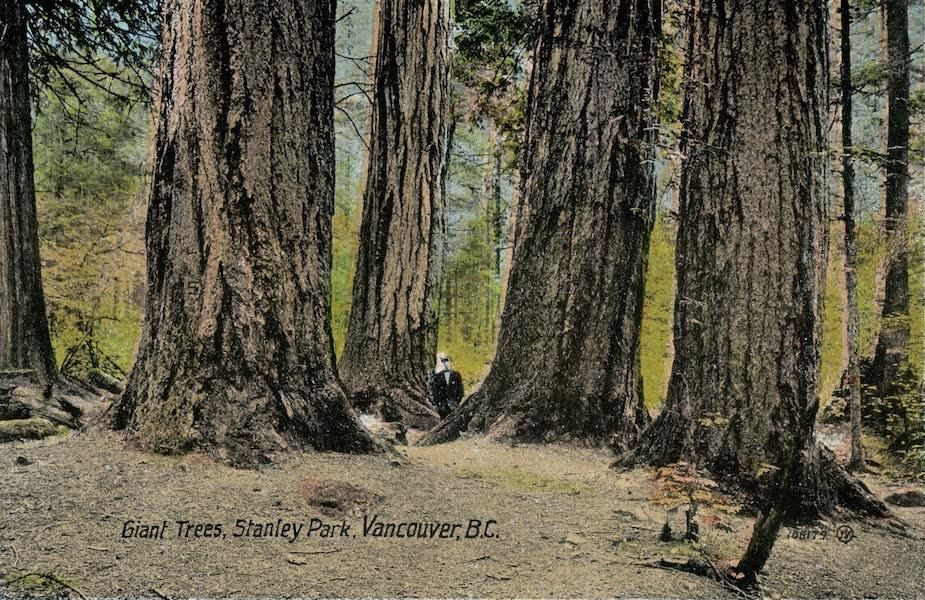 Picturesque Vancouver B.C. - Giant Trees, Stanley Park (1911)